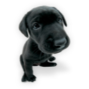 Puppy puppies hound labrador dog yellow labrador westie black labrador animal pet