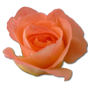 Birthday flower love valentine peach rose