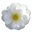 Love birthday valentine flower white rose wild