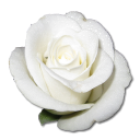 Birthday flower love valentine white rose