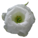 Love birthday flower valentine white rose wild