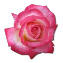 Birthday rose for kdc kdc rose love flower valentine rose