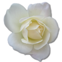 Tulip flower love birthday valentine white rose