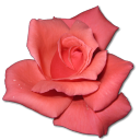 Love birthday flower valentine coral rose