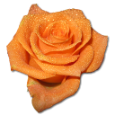Birthday flower love valentine orange rose