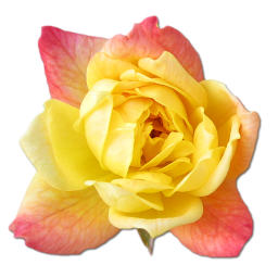 Birthday flower love valentine yellow rose