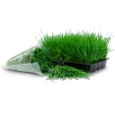 Tray bag wheatgrass grass