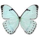 Mint morpho butterfly