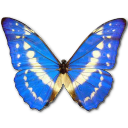 Morpho cypres butterfly