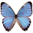 Morpho partis thamyris butterfly