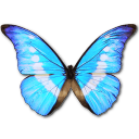 Morpho helena personal butterfly