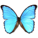Morpho didius butterfly