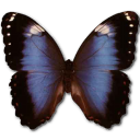 Morpho achilleana butterfly virginia