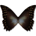 Morpho amphitrion butterfly