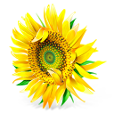 Sunflower flower plant